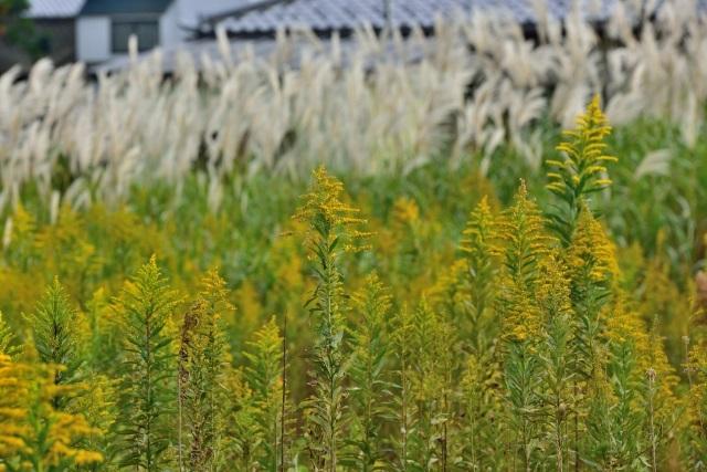 夏風邪かなぁ?秋の花粉症|ブタクサなどの原因と効果的な対策